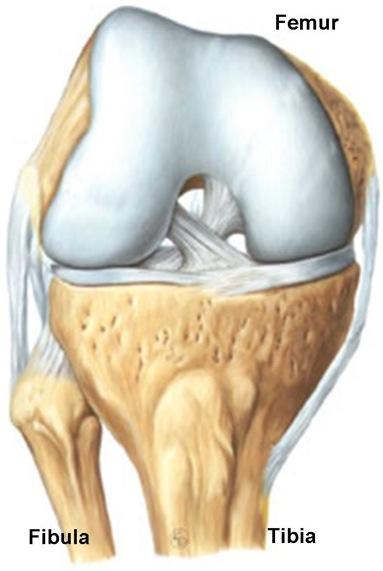 Het normale knie gewricht